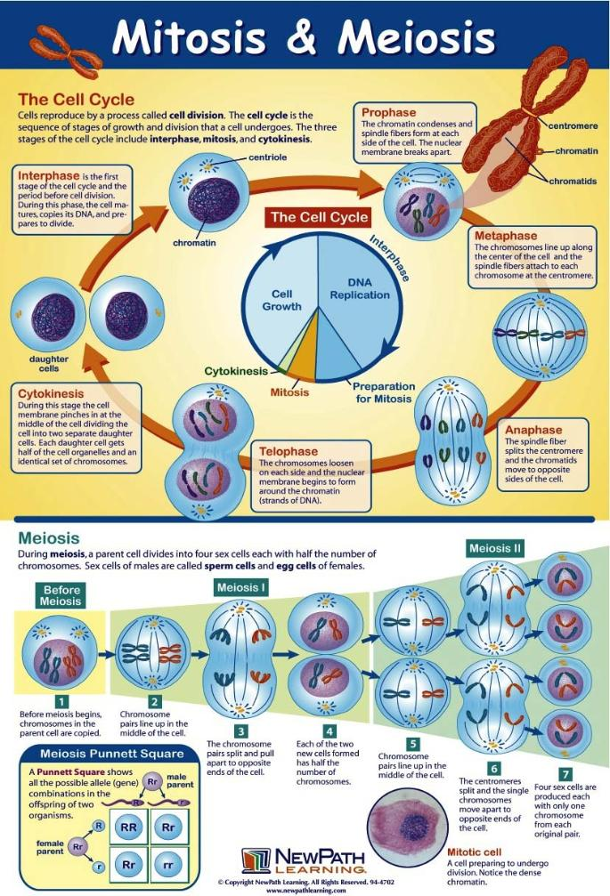 The cell cycle and cell division pdf